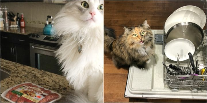 kitchen helper cats